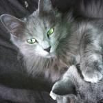 Fujita, notre femelle Nebelung